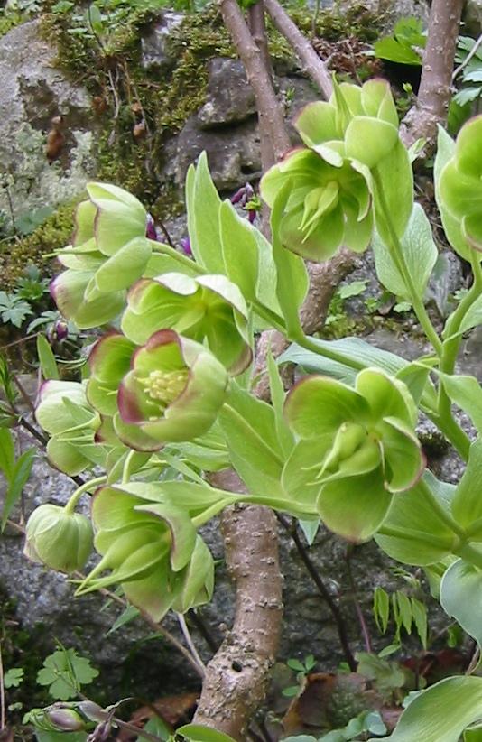 Helleborus foetidus wikipedia for Una decorazione e formata da cinque rombi simili
