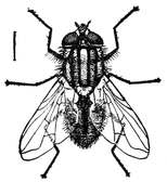 Genèse de la Mouche - chapitre 5 dans MOUCHE Housefly_-_Project_Gutenberg_eText_18050