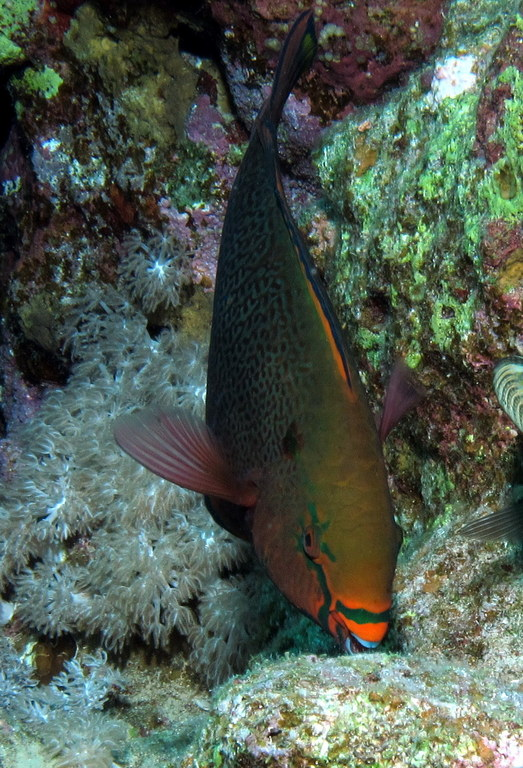 File:Initial Phase Parrotfish Feeding At Shaab Marsa Alam