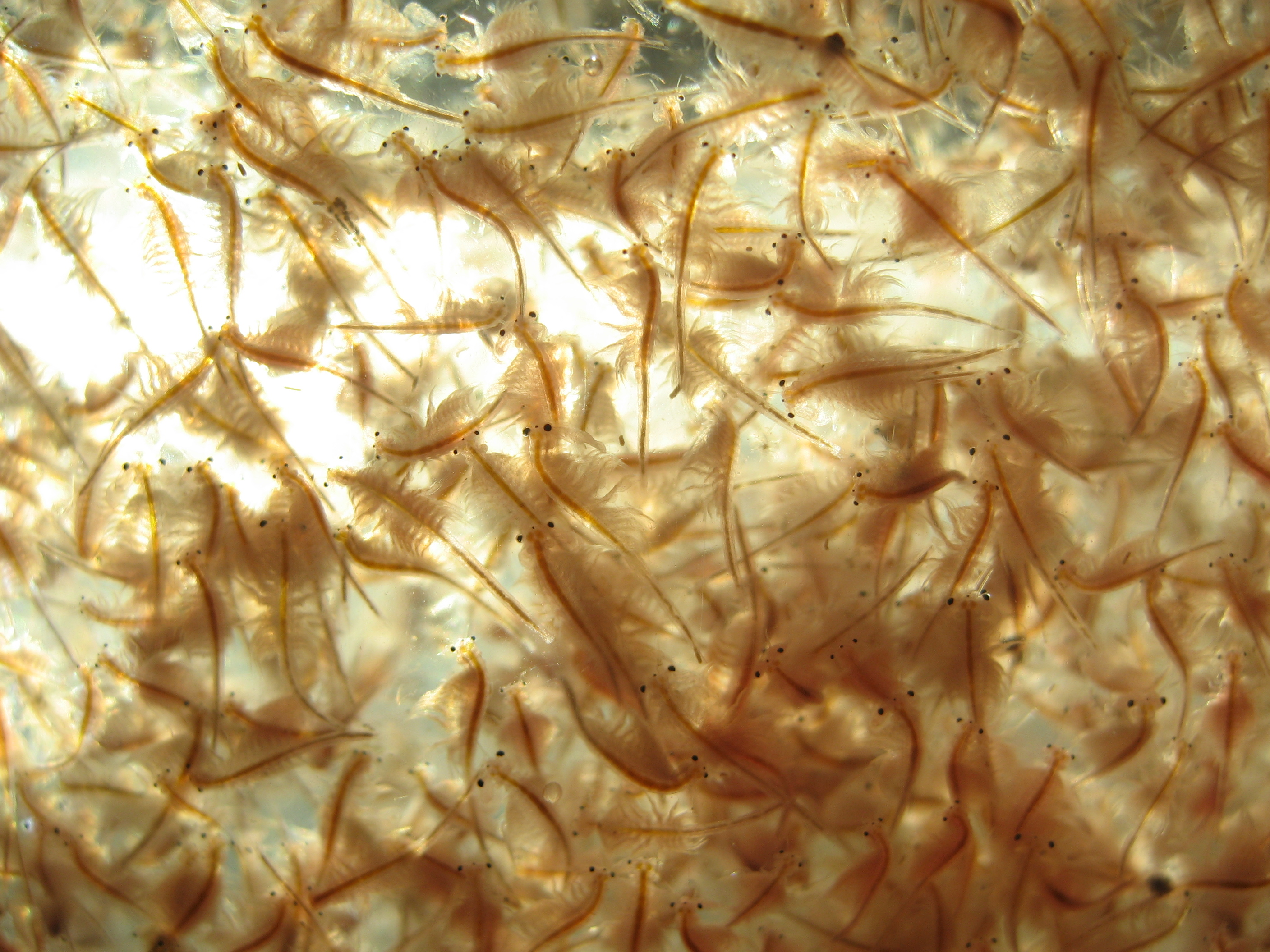 http://upload.wikimedia.org/wikipedia/commons/8/82/Live_brine_shrimp.jpg
