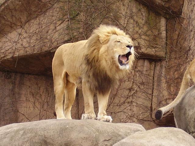 León en el zoo de Lincoln Park, Chicago.