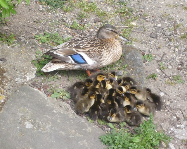 Image Result For Mother Duck And