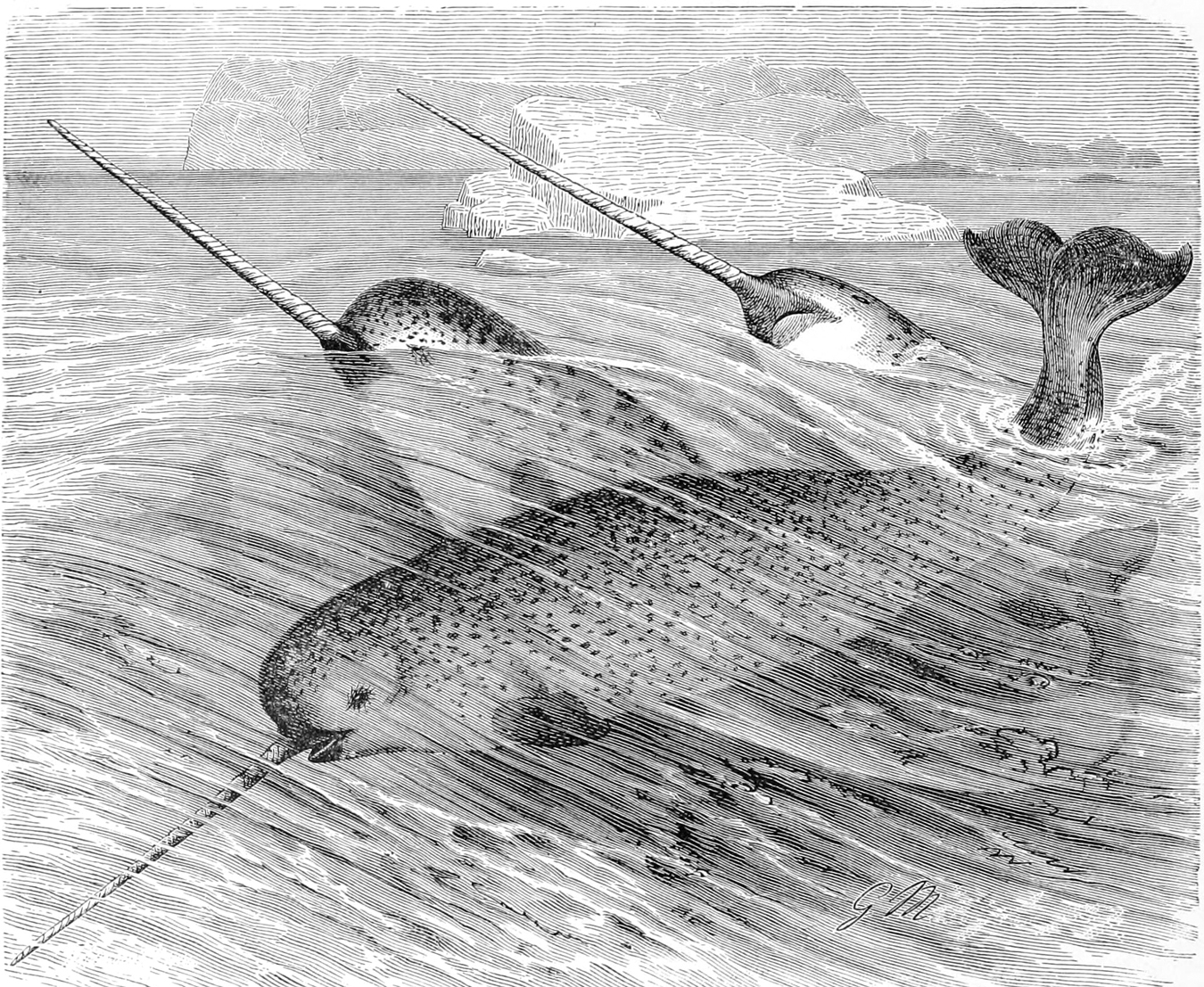 File:Monodon monoceros.jpg - Wikimedia Commons
