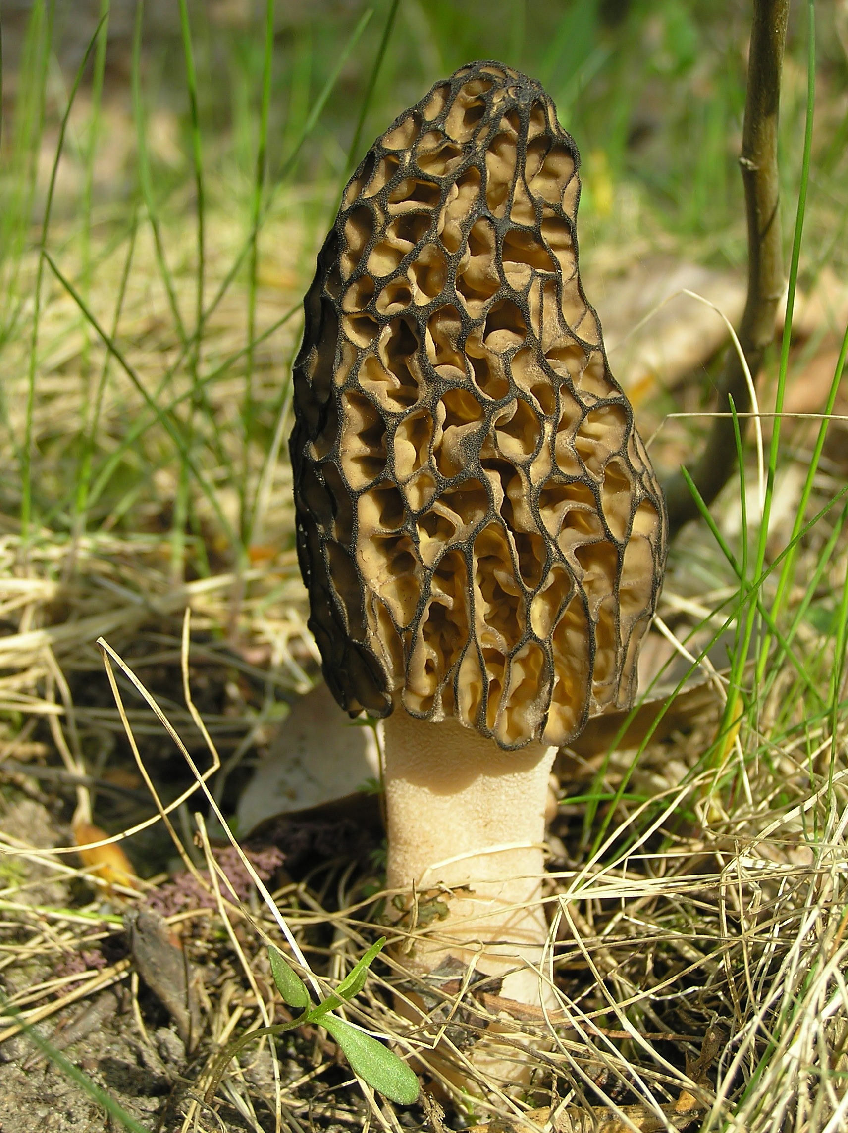 a black morel