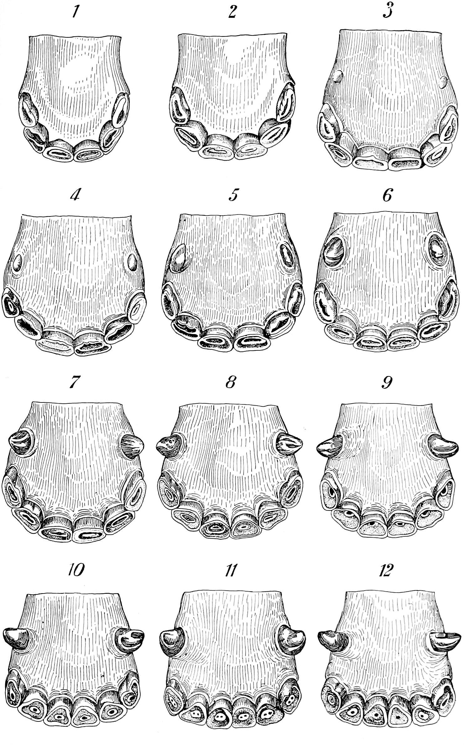 File Nie 1905 Horse Age Marks On Teeth Jpg Wikimedia Commons