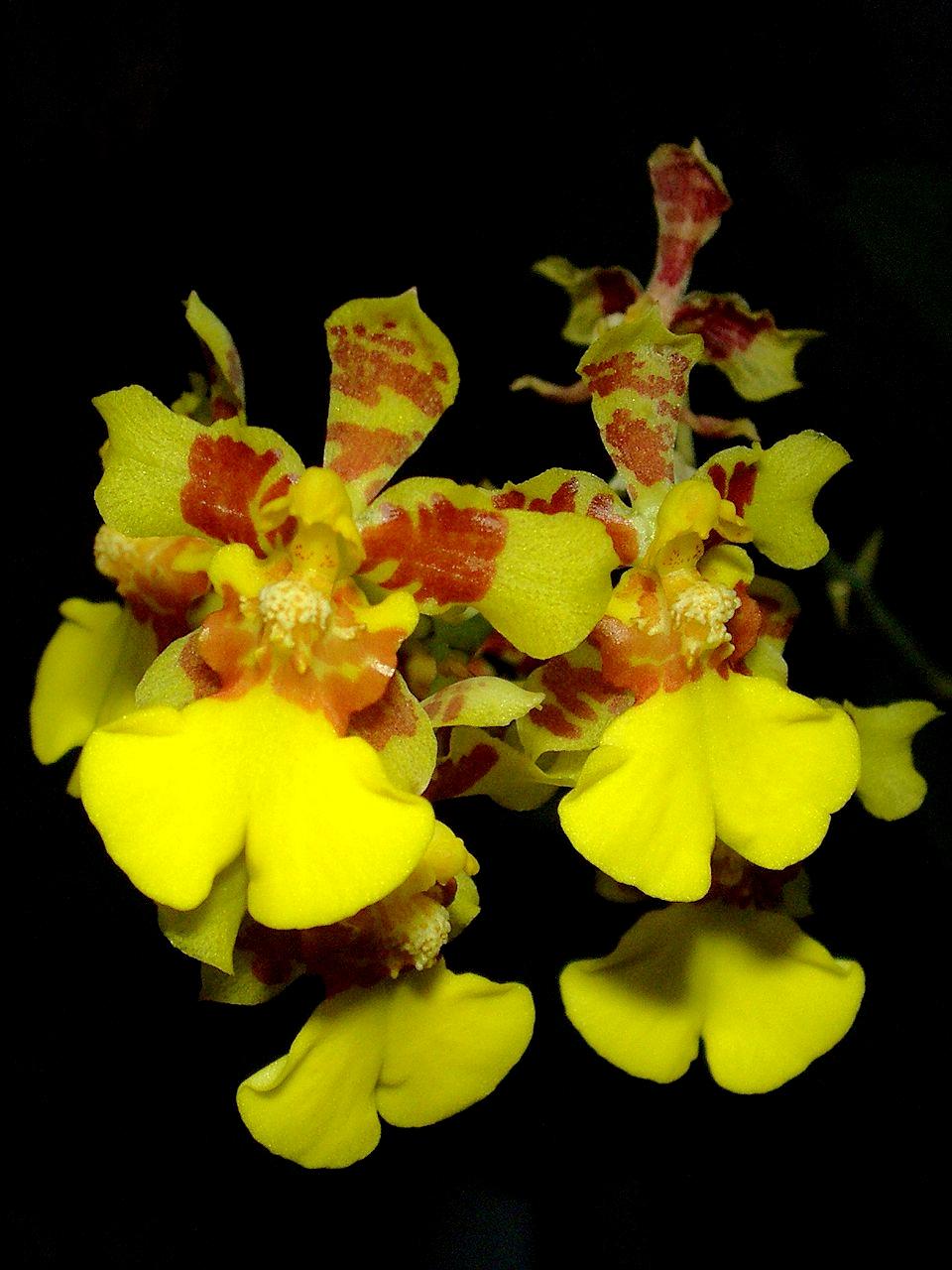 oncidium auriferum