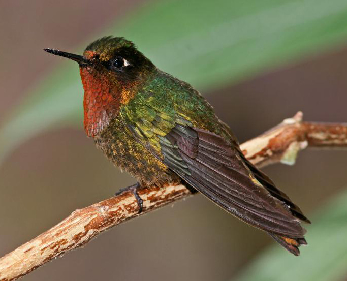 File:Orange-throated Sunangel.jpg