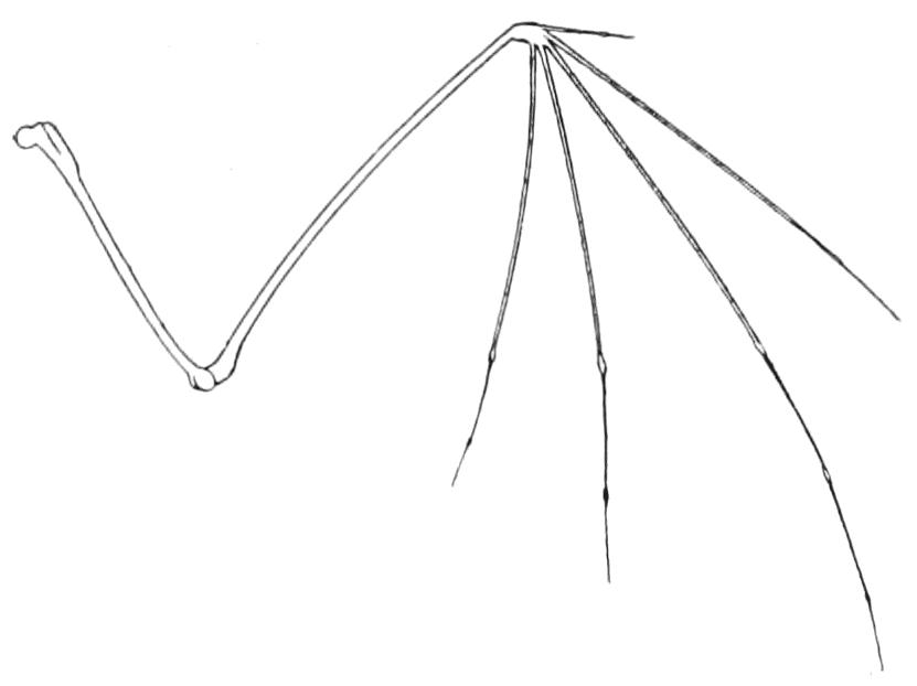 Bat wing skeleton - photo#12