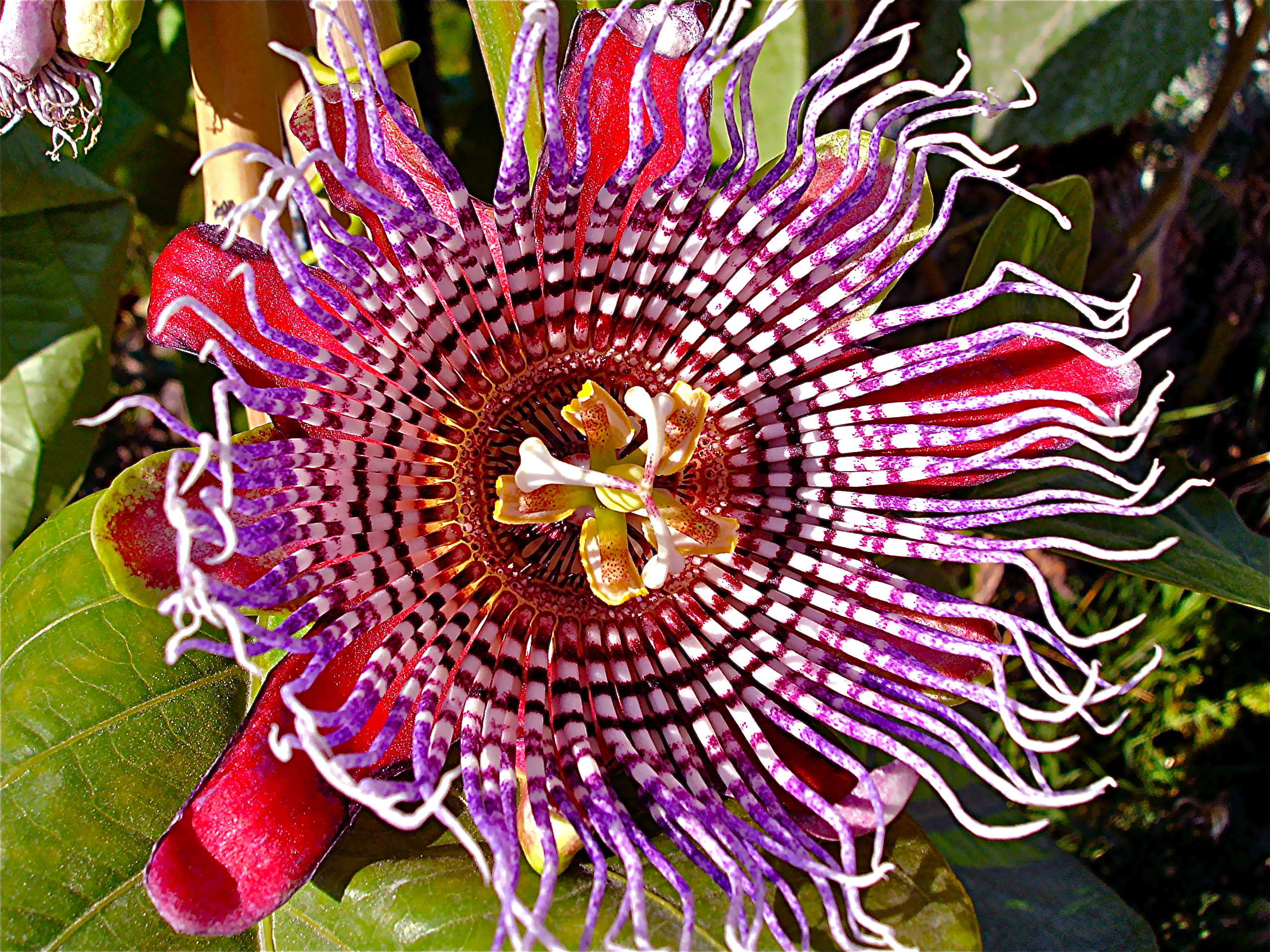 Kitchener Furniture Trippy Passiflora Quadrangularis Flower Woahdude