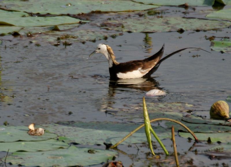Pheasant-tailed Jacana in breeding plumage