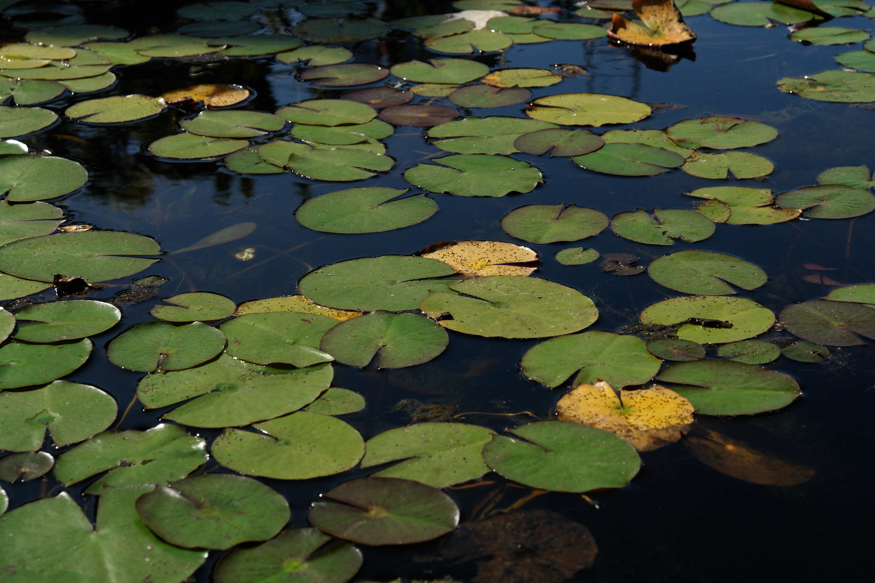 File Pond Of Water Lilies 3400959101 Jpg Wikimedia Commons