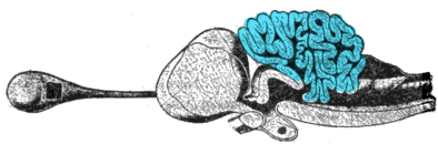 Cross-section of the brain of a porbeagle shark, with the cerebellum highlighted Porbeagle shark brain.png