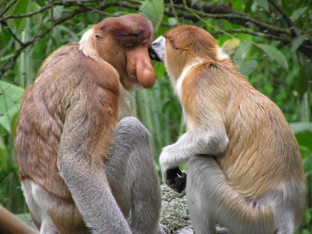 File:Proboscis Monkey.jpg