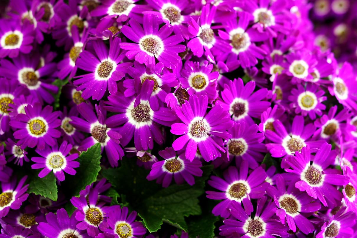 Filepurple Flowers Forestwanderg Wikimedia Commons