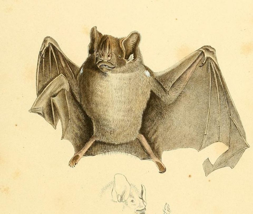 76083bf9b494 Ipanema bat - Wikipedia
