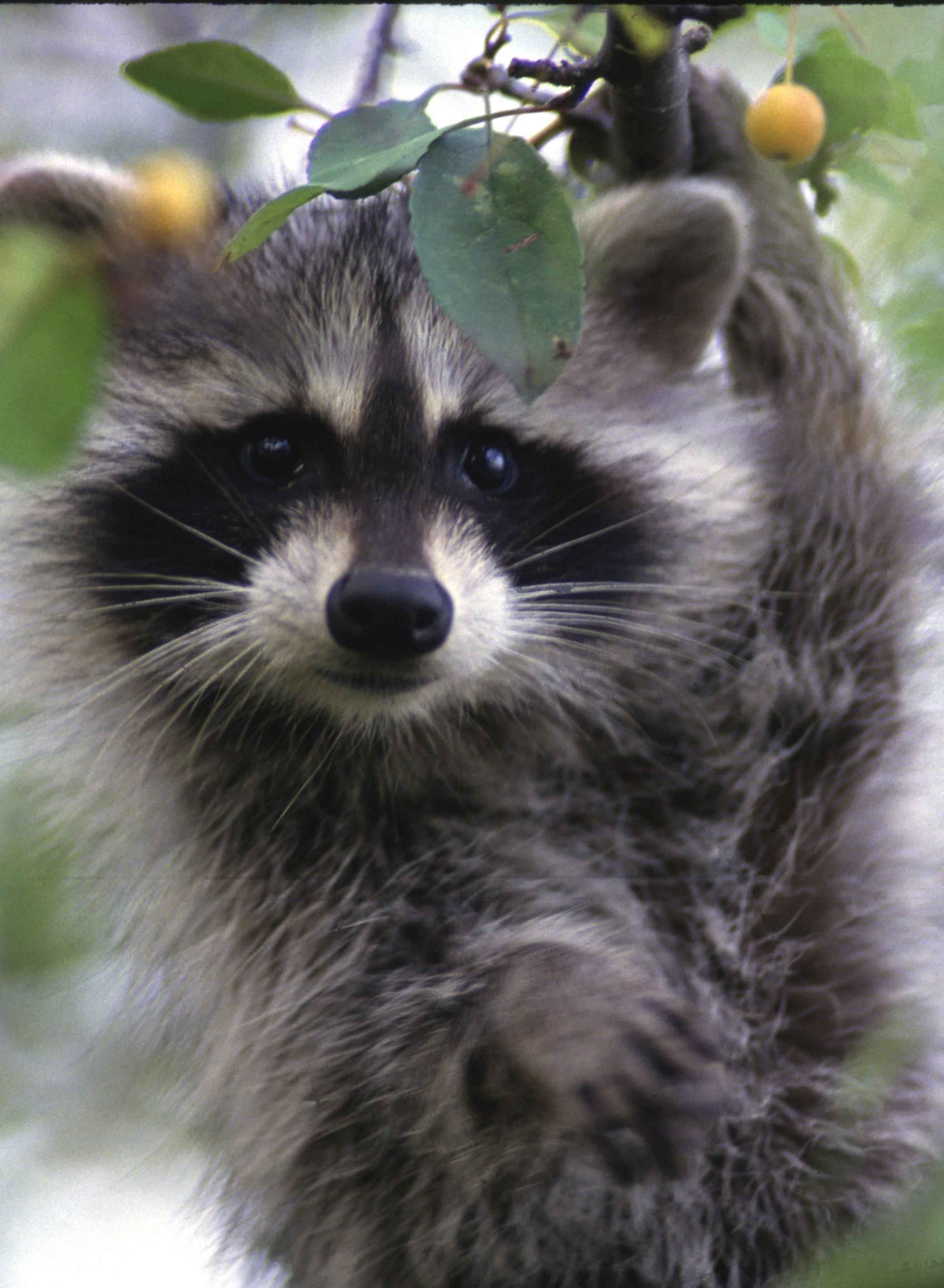 file raccoon face close up procyon lotor jpg wikimedia commons