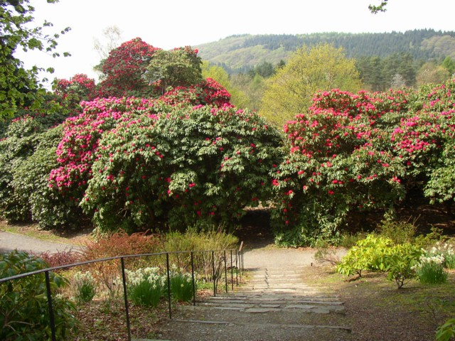 Rhododendrons, Fell Foot Park, Staveley-in-Cartmel - geograph.org.uk - 171457