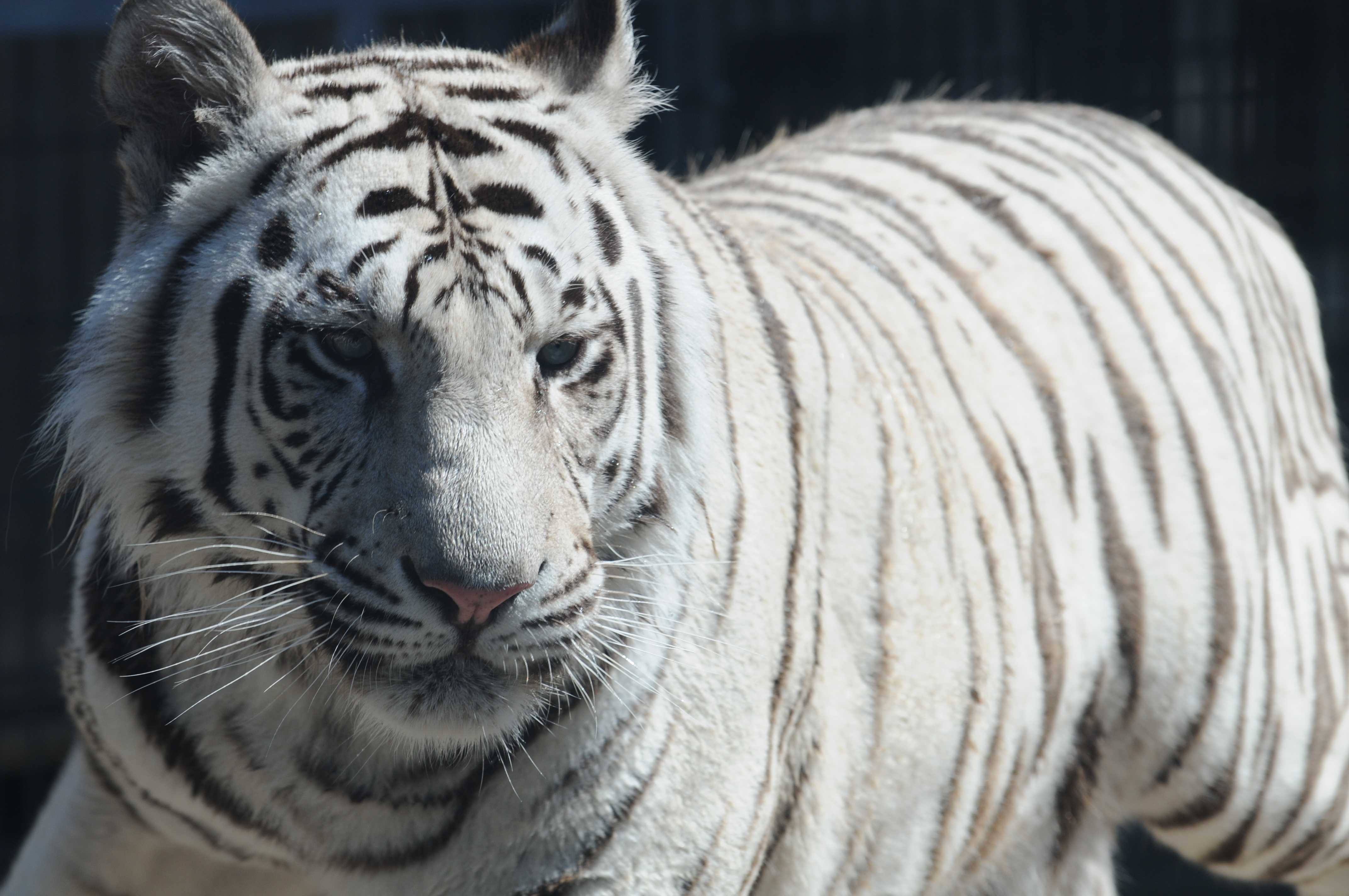 File:Royal White Bengal Tiger headshot at Cougar Mountain Zoological