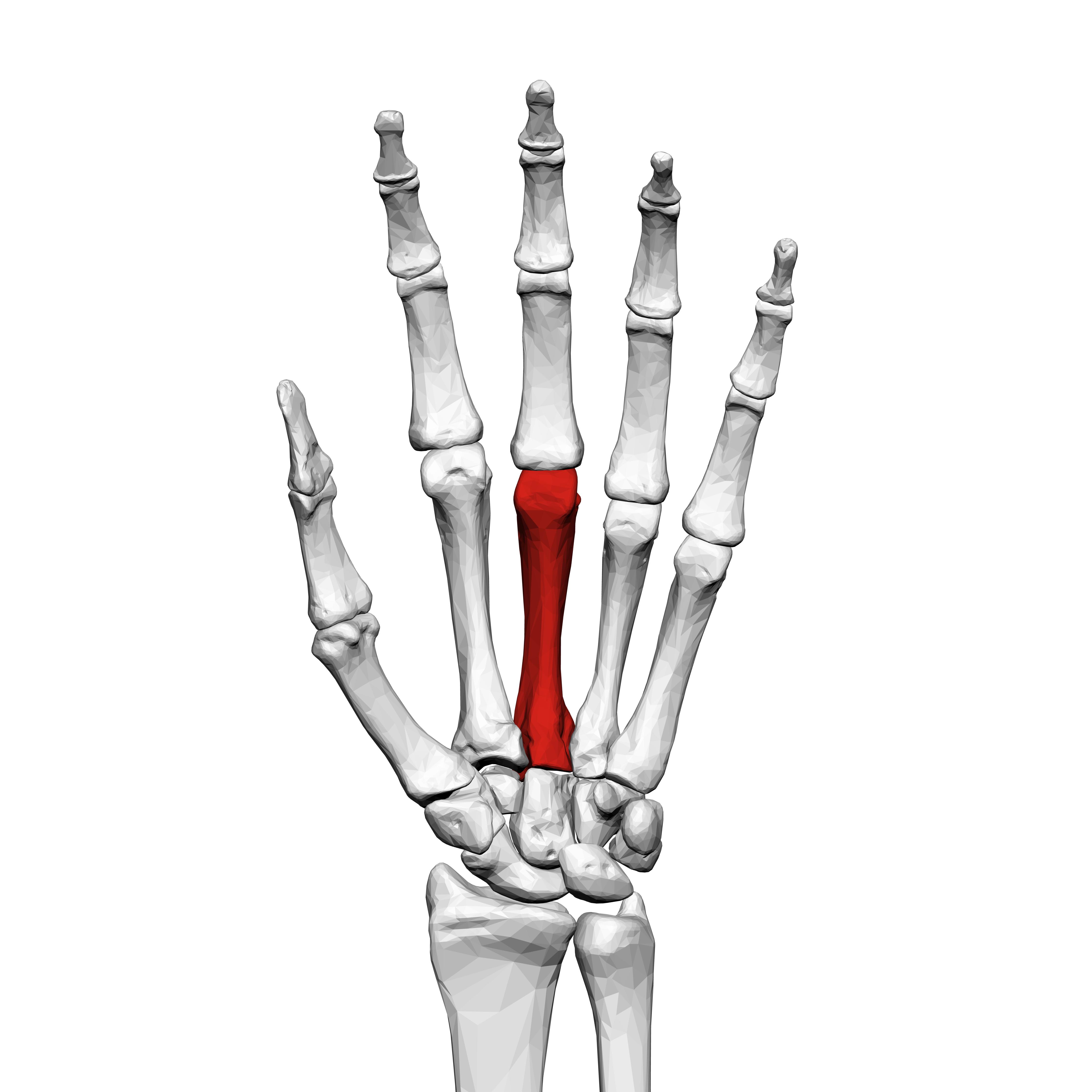 Third Metacarpal Bone Left Hand 01 Palmar Viewg