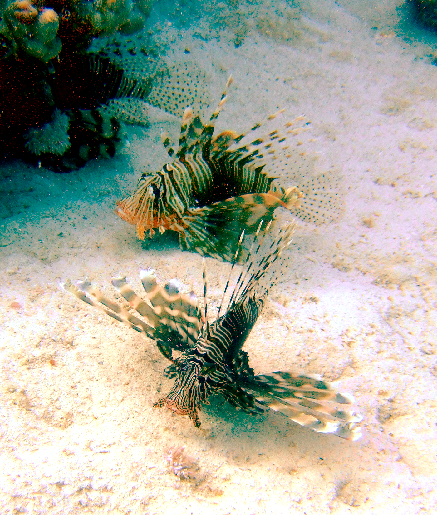 Three Red Sea Lion Fish.jpg