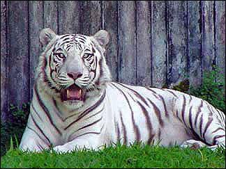 White-Tigers-white-tiger-11948666-324-243.jpg