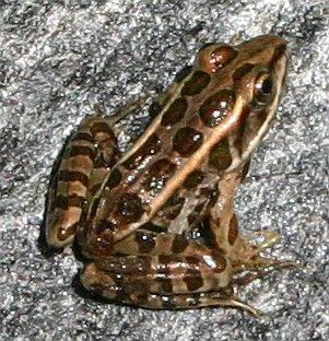café rencontre la grenouille canada