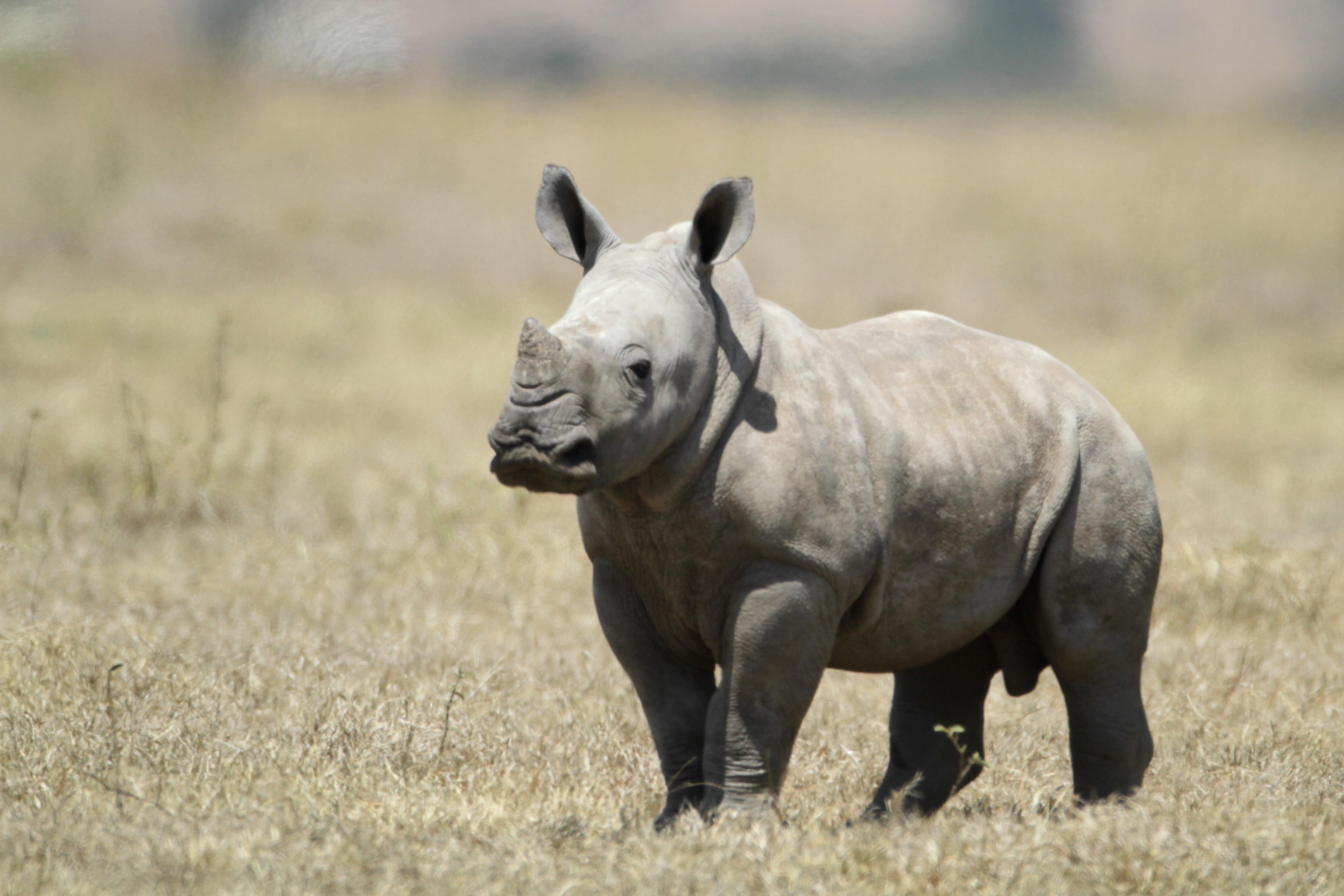 Description White Baby Rhino jpgRhinoceros Baby