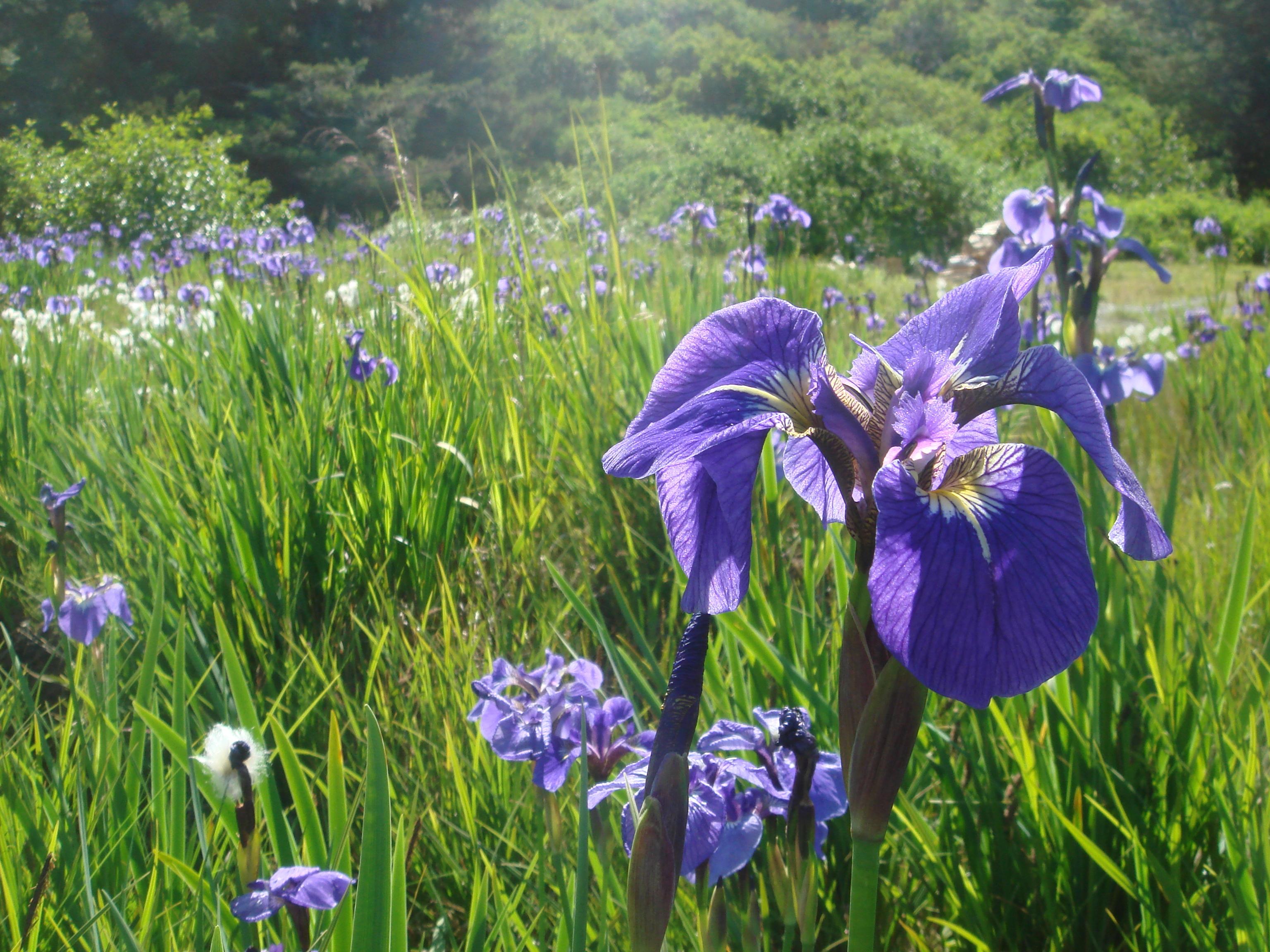 File Wild Purple Iris On The Kodiak Archipelago Alaska 2009 200 Jpg