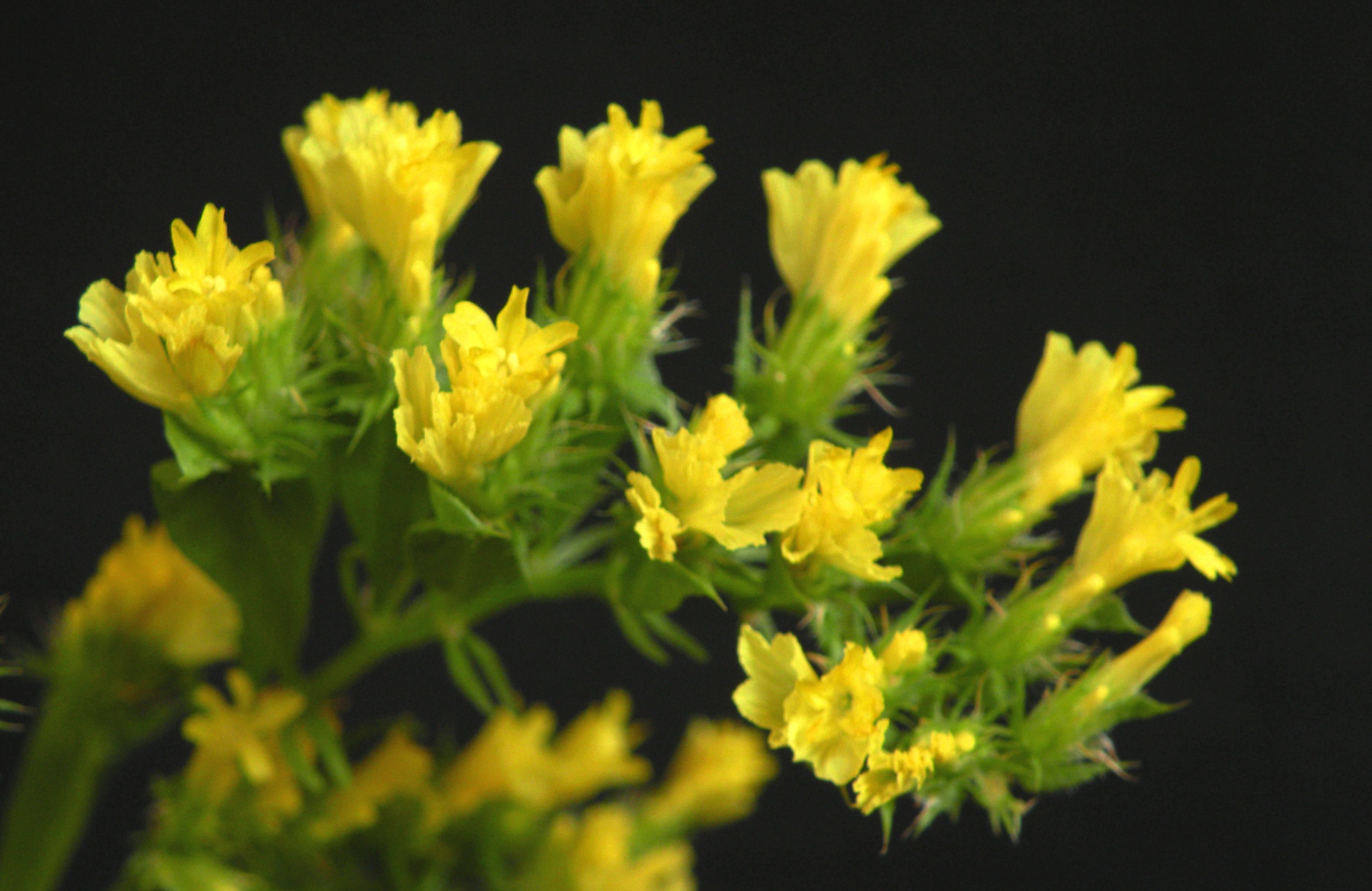 Fileyellow statice flowers close up from topg wikimedia commons fileyellow statice flowers close up from topg mightylinksfo