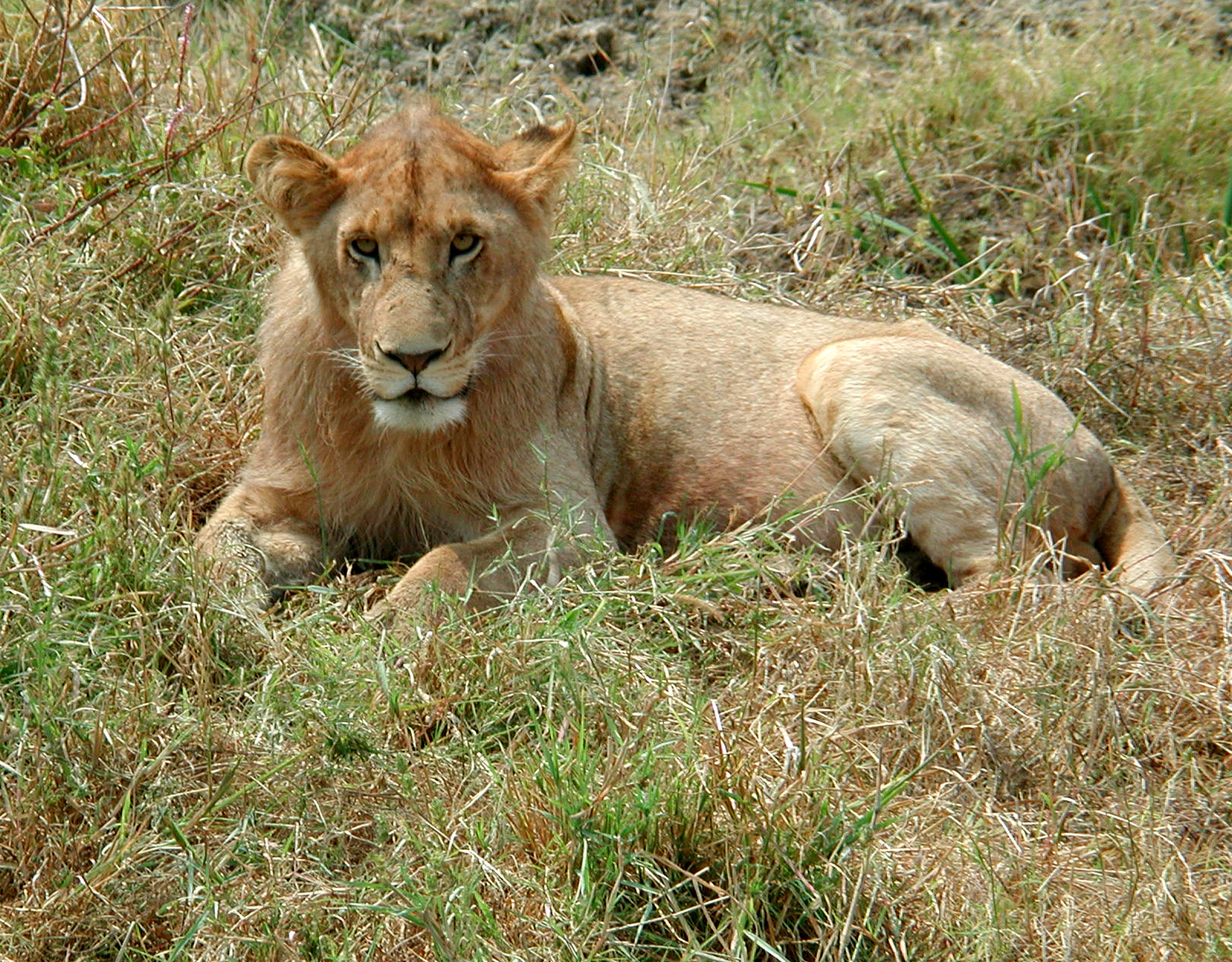http://upload.wikimedia.org/wikipedia/commons/8/82/Young_lion_of_the_Serengeti.JPG