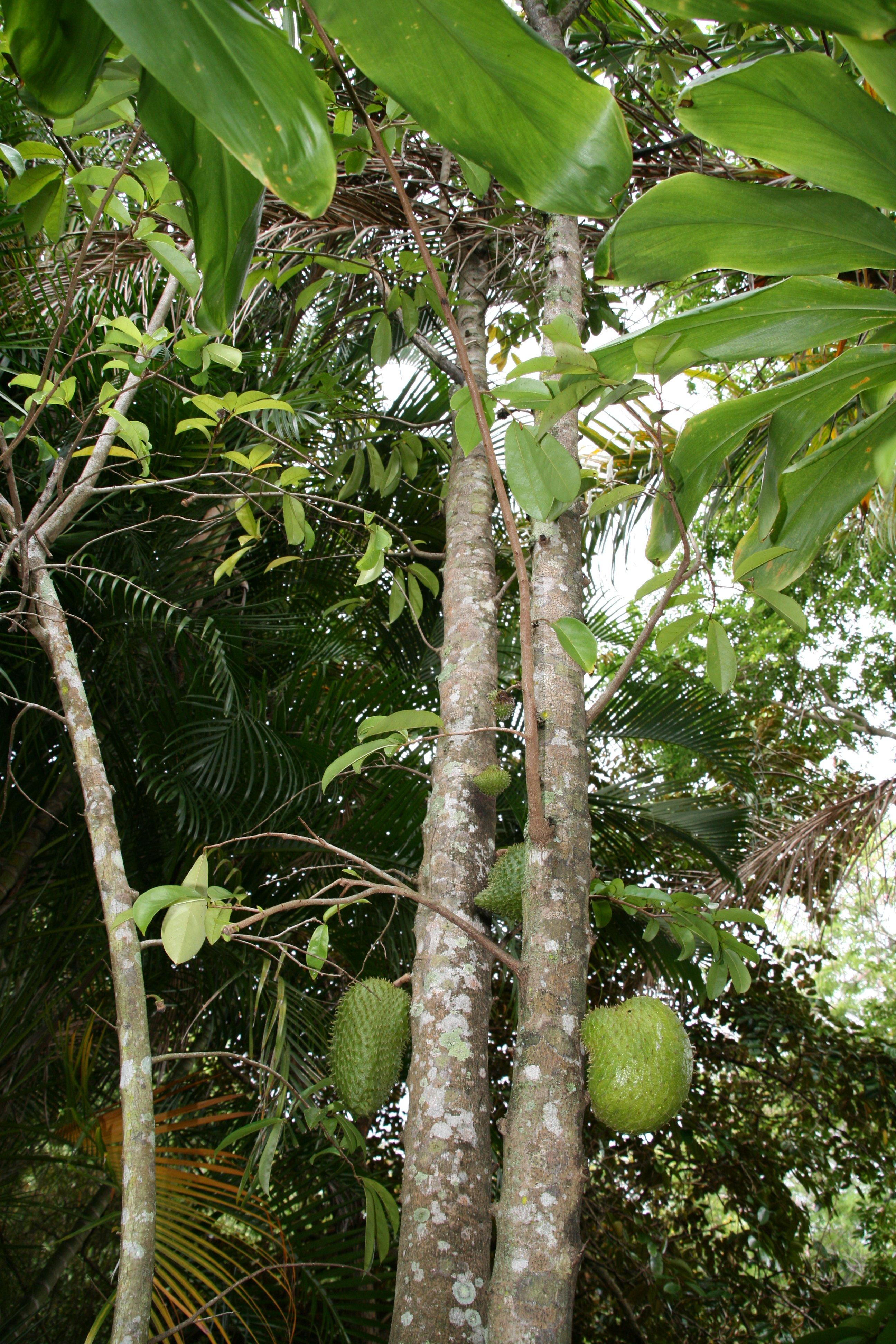 guanabana fruta dulce o acida