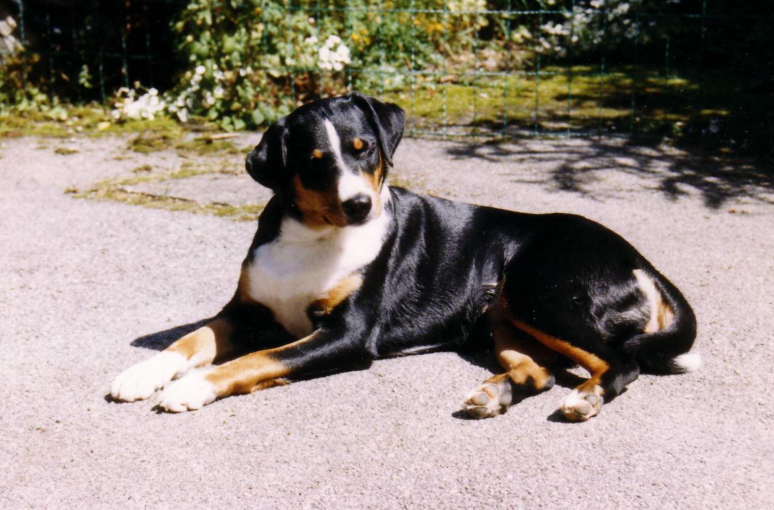 Appenzeller sennenhond Wikipedia