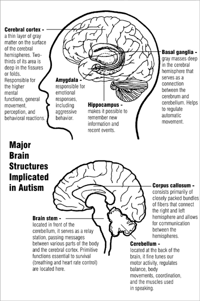 Two diagrams of major brain structures implicated in autism. The upper diagram shows the cerebral cortex near the top and the basal ganglia in the center, just above the amygdala and hippocampus. The lower diagram shows the corpus callosum near the center, the cerebellum in the lower rear, and the brain stem in the lower center.
