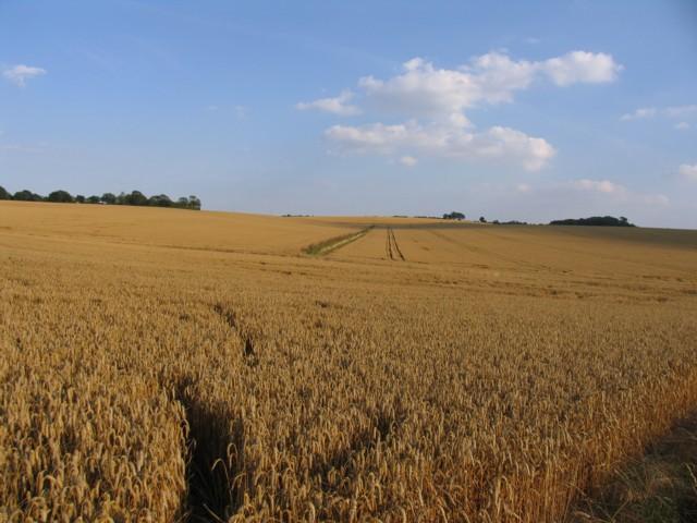 barley fields by nitrok - photo #4