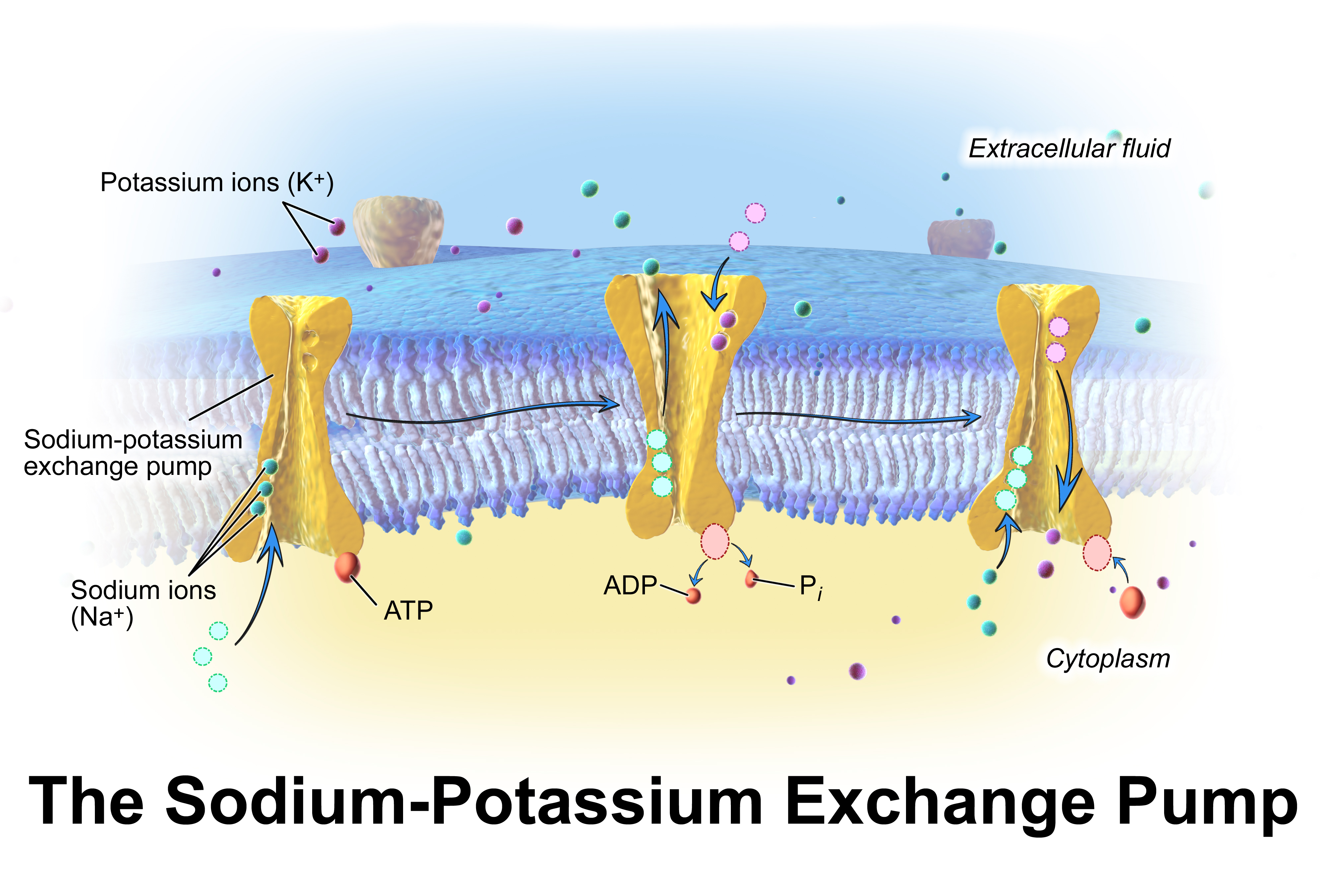 Ficheiro:Blausen 0818 Sodium-PotassiumPump.png - Wikipedia ... - photo#50