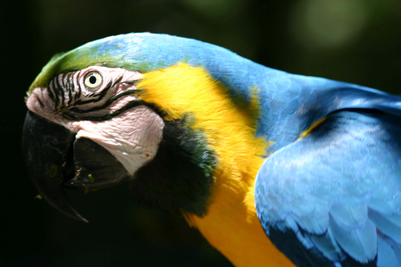 File:Blue and Gold Macaw head.jpg - Wikimedia Commons