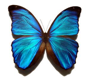 Datei:Blue morpho butterfly 300x271.jpg