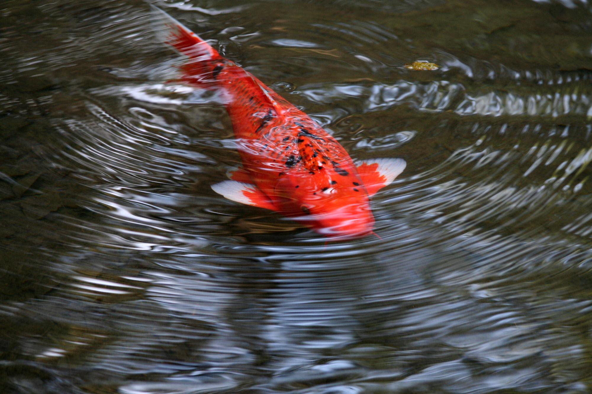 File:Bright orange fish.jpg - Wikimedia Commons