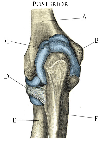 UCL anatomy/Elbow Joint Bursa - Wikiversity