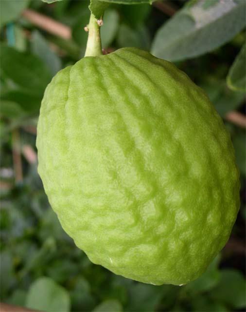 corsican citron