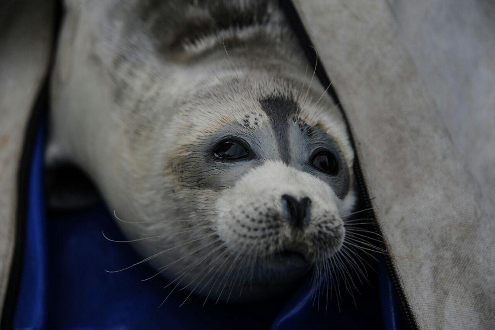 The average litter size of a Caspian seal is 1