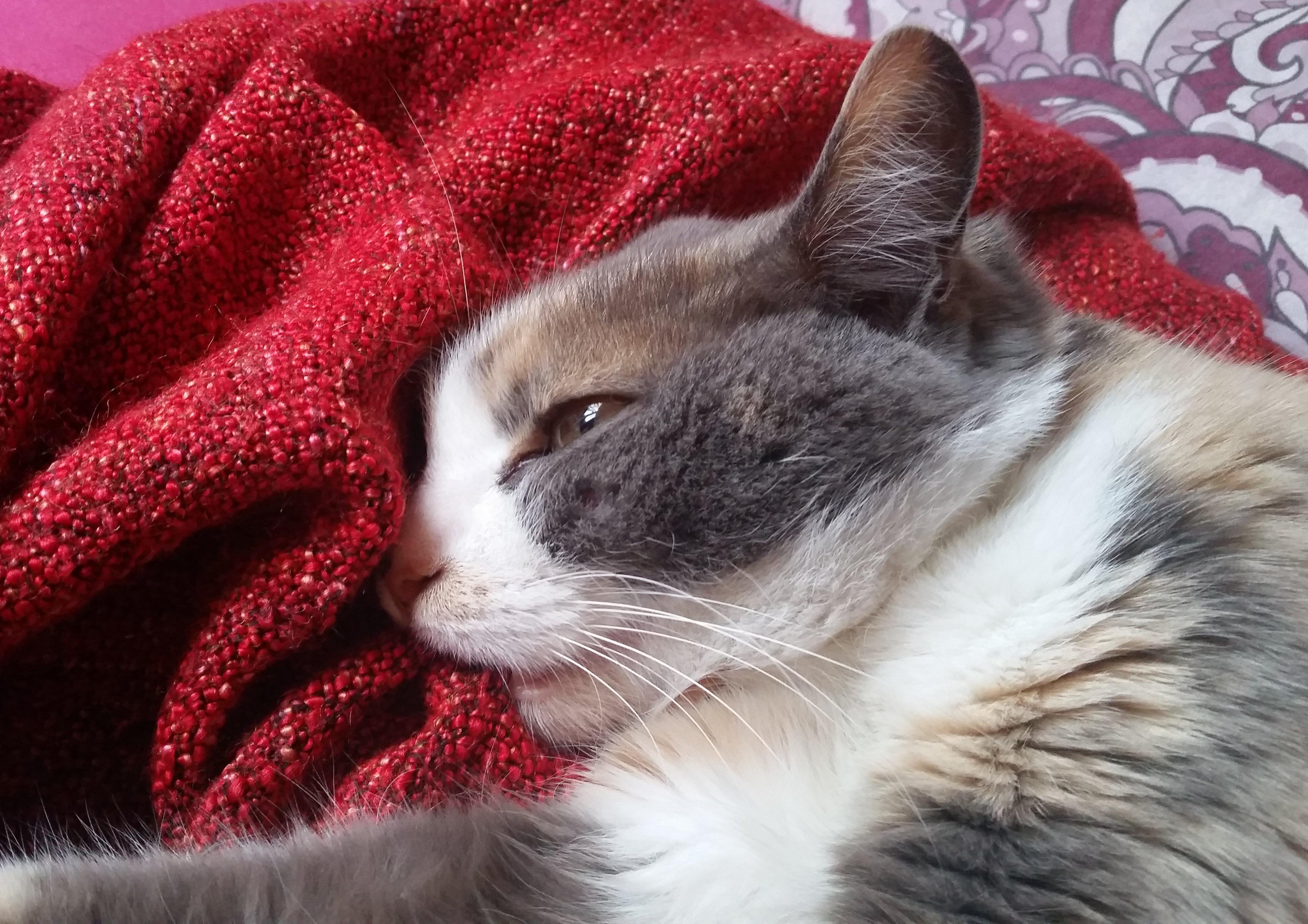 Blanket Cat