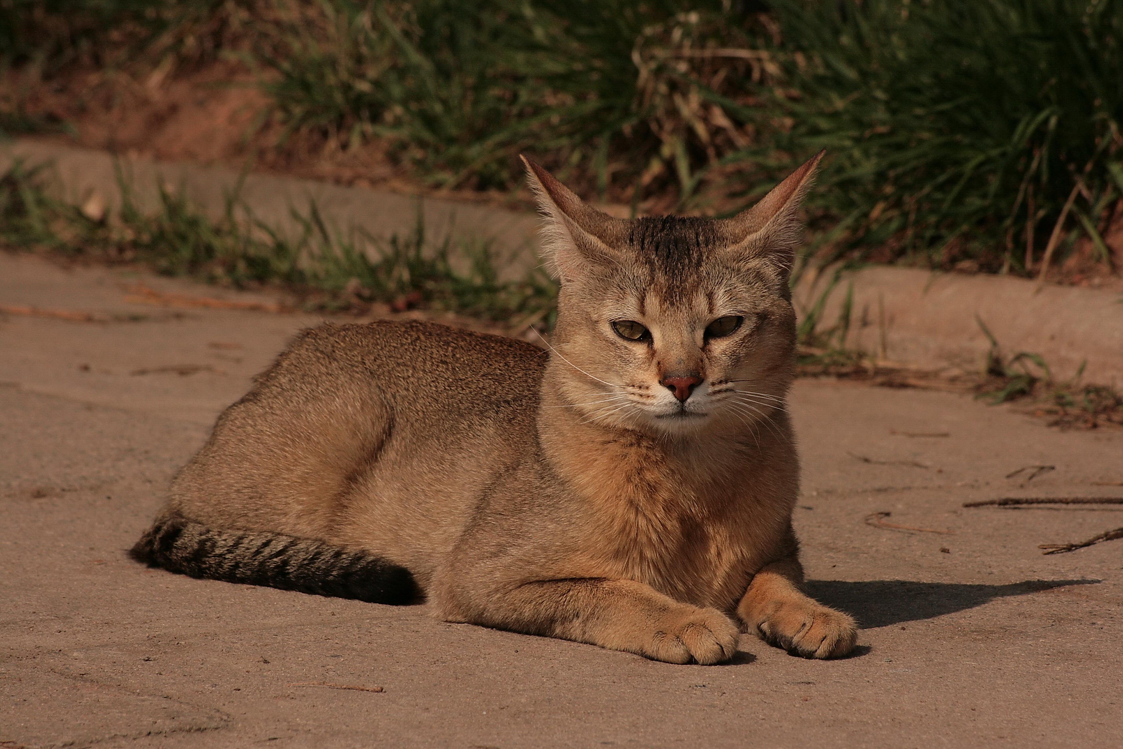 Exotic Cat Sale Sydney