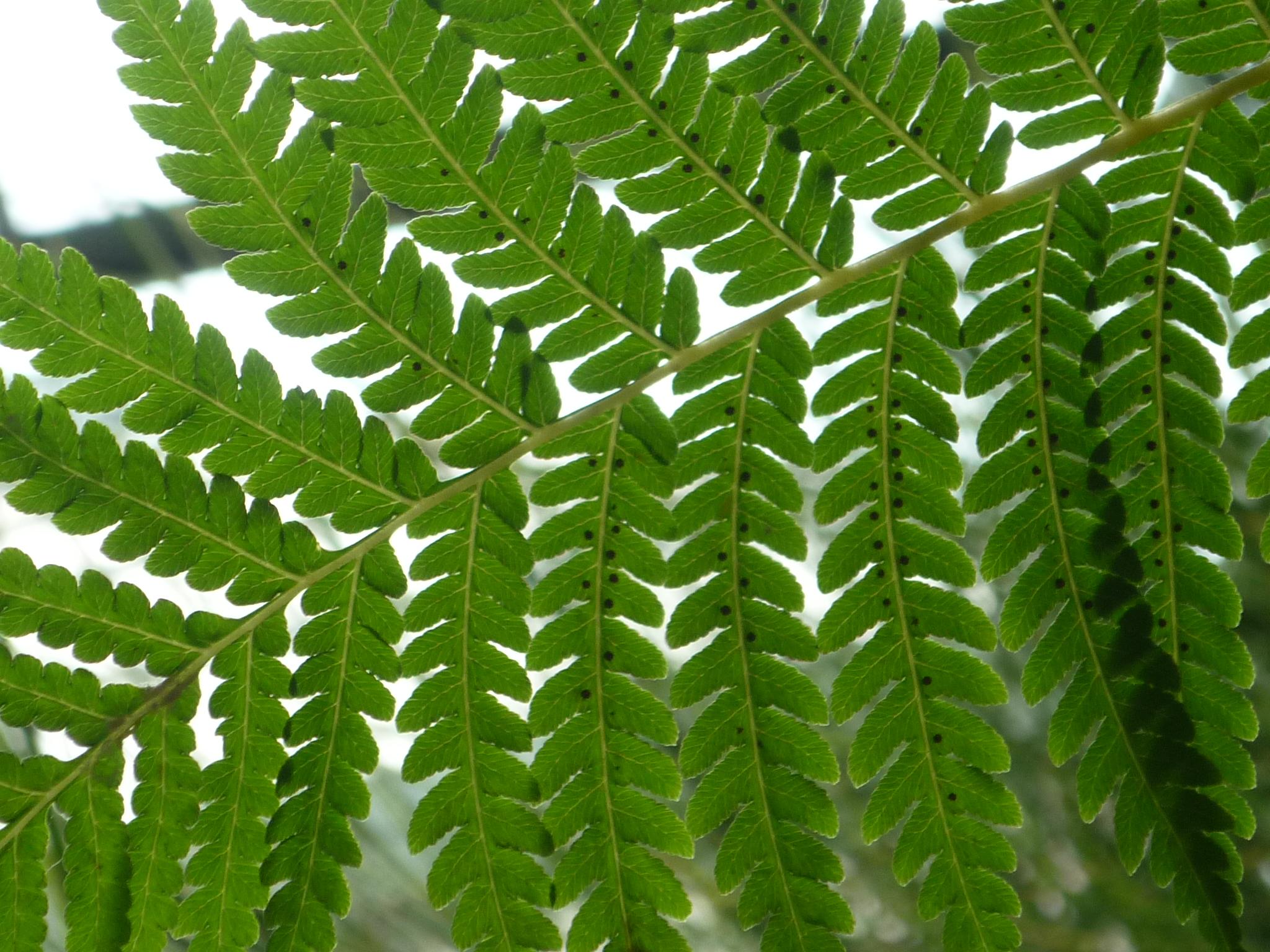 File Cyathea australis in Jardin des plantes Paris 1