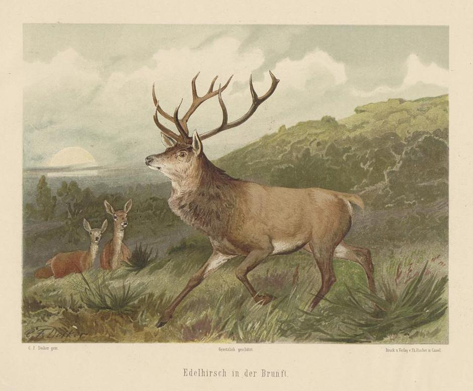 Description deiker jagdbare tiere 1093232
