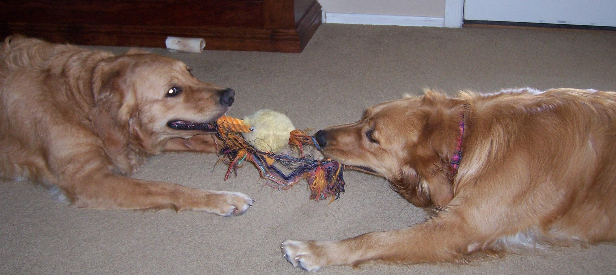 Two Golden Retriever dogs playing with a dog t...