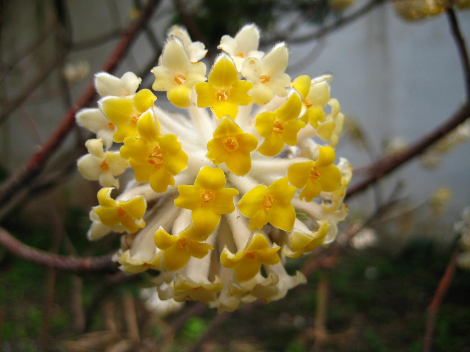File edgeworthia chrysantha 01 jpg wikimedia commons for Edgeworthia chrysantha