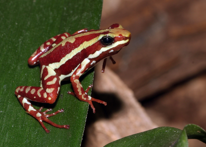 Phantasmal poison frog - Wikipedia