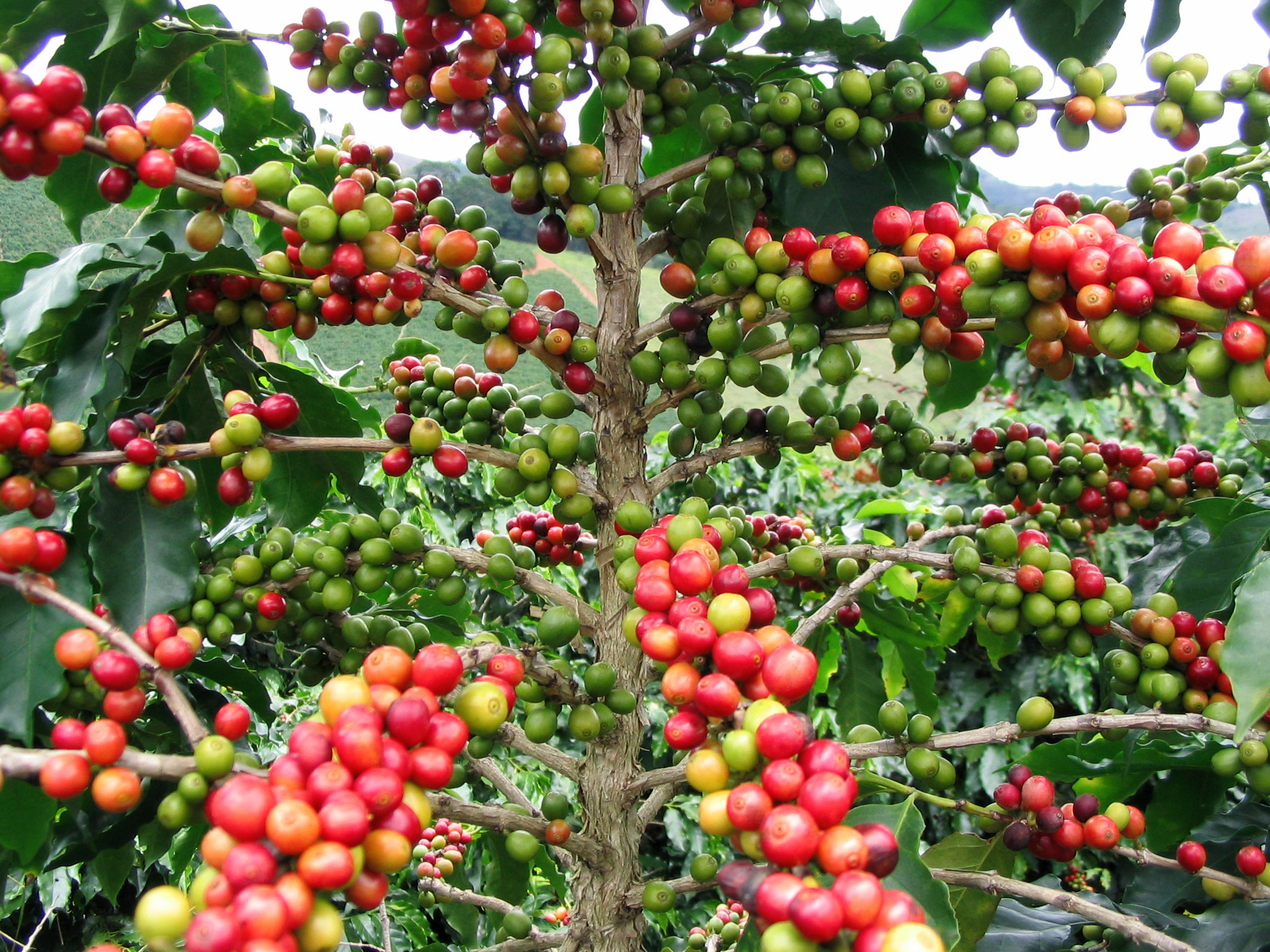 Coffea arabica coffee