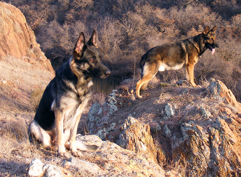 Swaggy's Fort O' Characters German_Shepherds_in_ravine